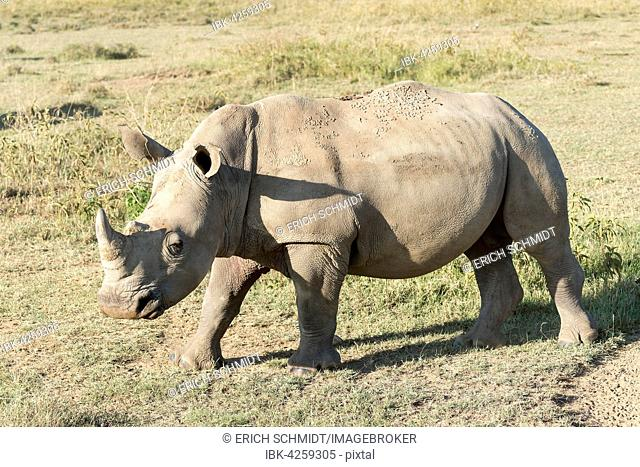White rhinoceros (Ceratotherium simum), Lake Nakuru National Park, Kenya