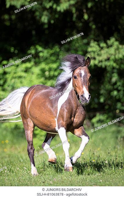 Shetland Pony. Skewbald mare galloping on a pasture. Austria