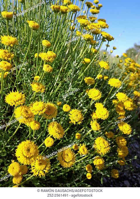 Cotton lavender (Santolina chamaecyparissus)