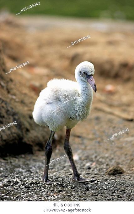 American Flamingo, Phoenicopterus ruber ruber, South America, young