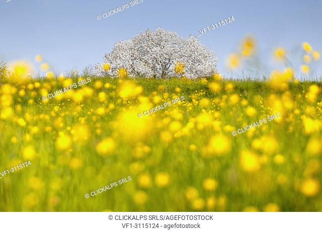 Buttercups (Ranunculus) flowers frame the most biggest cherry tree in Italy in a spring time, Vergo Zoccorino, Besana in Brianza, Monza and Brianza province