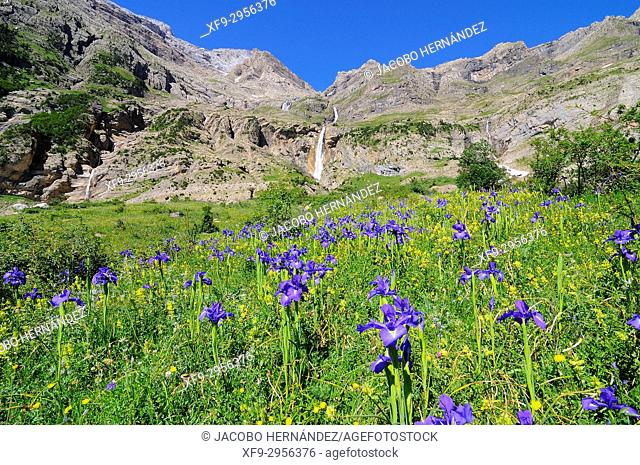 Iris xiphioides.Circo de Pineta.Ordesa National Park. Pyrenees mountains. Bielsa. Huesca province. Aragón. Spain