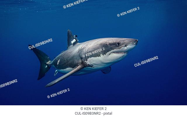 Great White shark with camera clamped on fin for conservation study, underwater view