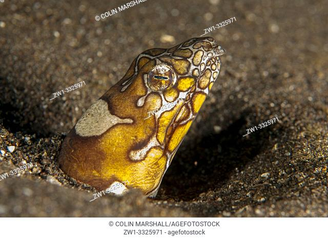 Napoleon Snake Eel (Ophichthus bonaparti, Ophichthidae family) buried in sand, Pyramids dive site, Amed, Bali, Indonesia