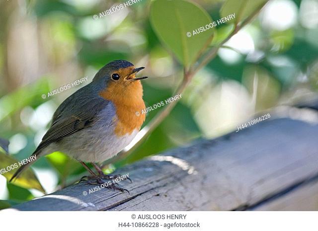Robin, singing, Erithacus rubecula, sitting, outdoors, singing, branch, portrait, nature, animal, bird, birds, summer