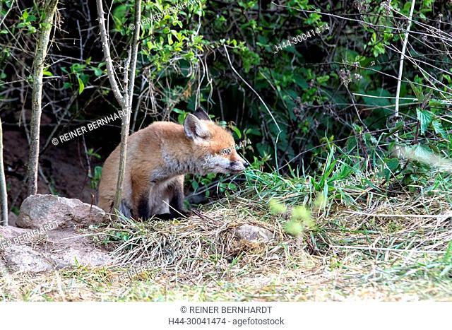European fox, fox, fox in April, fox's puppies, foxes, doggy, Jung's fox, Jung's fox in construction nearness, Jung's foxes, crafty fox, predator, pure corner
