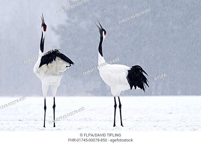 Japanese Red-crowned Crane Grus japonensis adult pair, calling, displaying in snow during snowfall, Akan, Hokkaido, Japan, winter