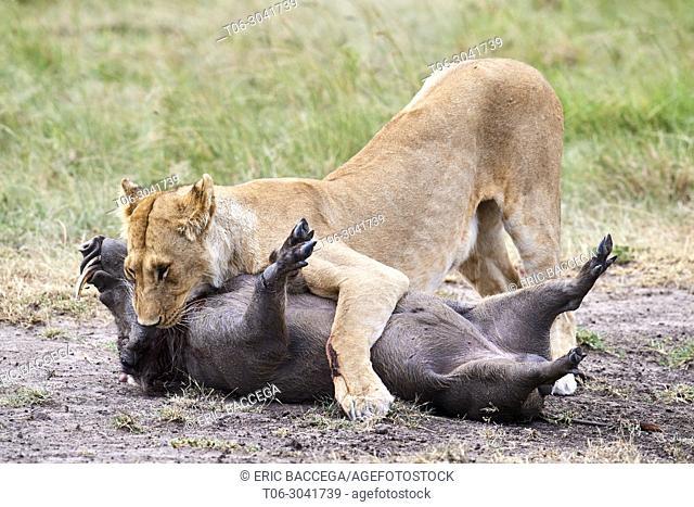 African Lion (Panthera leo) female suffocating a common warthog prey (Phacochoerus africanus), Masai Mara National Reserve, Kenya, Africa