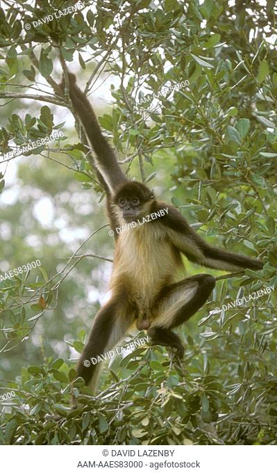 Spider Monkey (Ateles geoffroyi) Central & South America rainforest