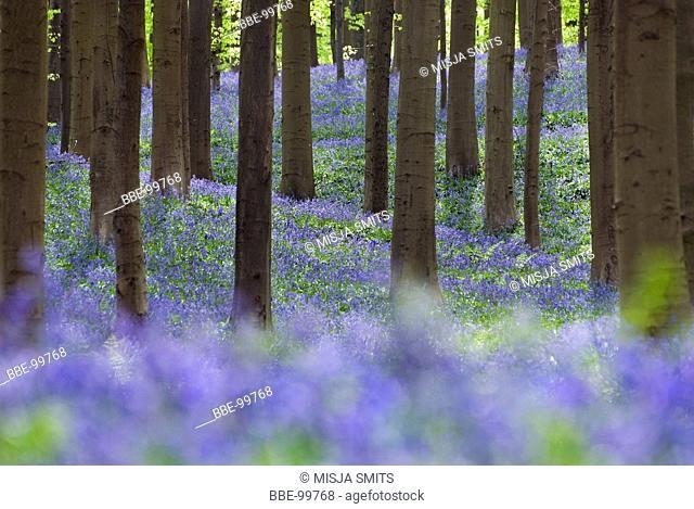 Bluebells and beech trees in the Hallerbos in Belgium