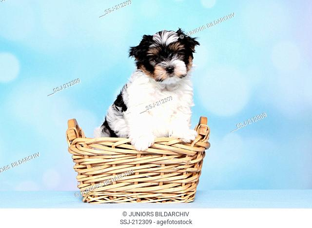 Biewer Terrier. Puppy (8 weeks old) in a wicker basket. Studio picture against a blue background. Germany