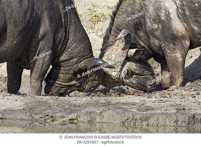 African buffaloes (Syncerus caffer), two male adults fighting at a waterhole, Kruger National Park, South Africa, Africa
