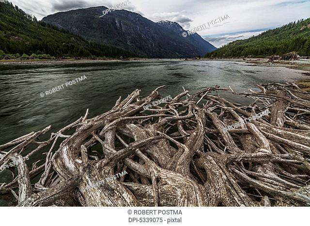 Roots from an old stump along the shores of Buttle Lake, Strathcona Provincial Park; British Columbia, Canada