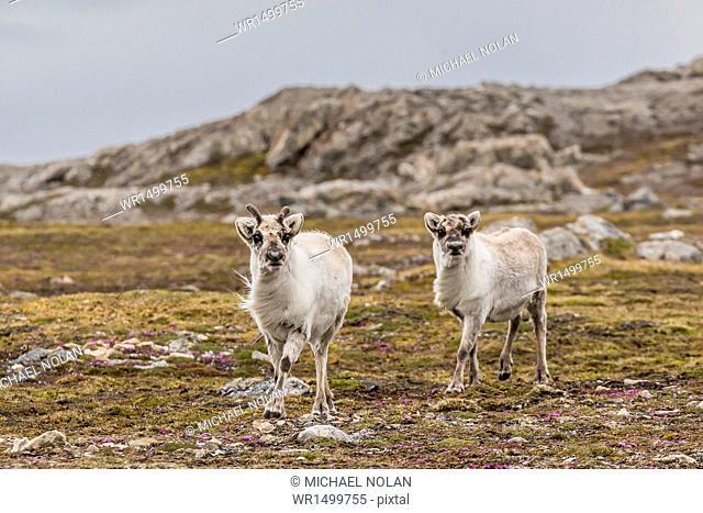 Young Svalbard reindeer (Rangifer tarandus platyrhynchus) at Gosbergkilen, Spitsbergen, Svalbard, Norway, Scandinavia, Europe