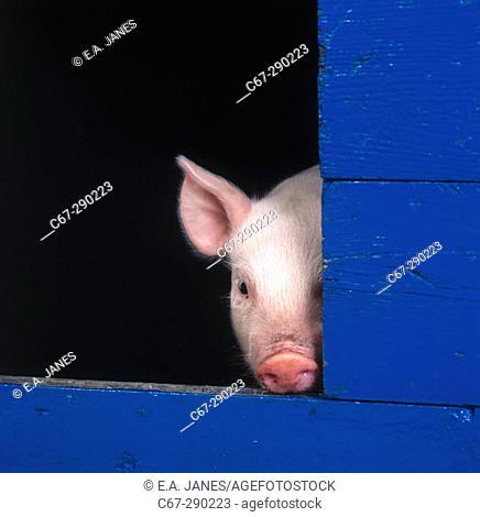 Piglet in sty