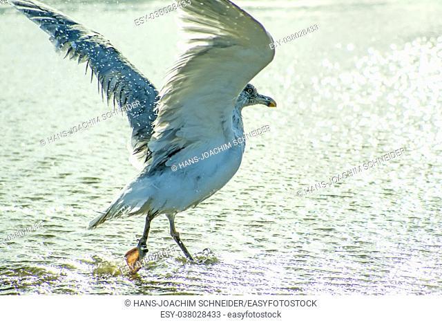herring gull taking a bath in the Baltic sea in Poland