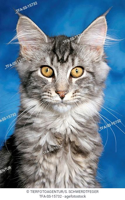 young maine coon portrait