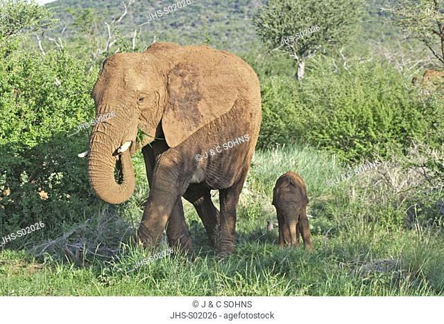 African Elephant, Loxodonta africana, Madikwe National Park, South Africa , Africa, adult with young feeding