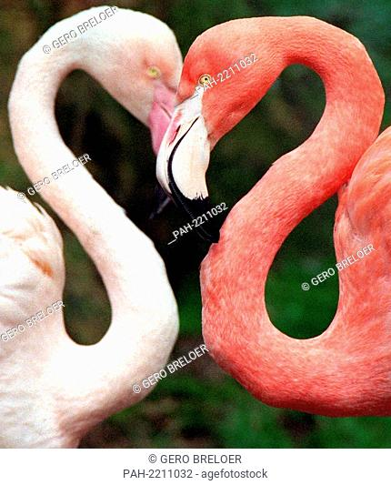 Two flamingos form a heart shape with their heads and necks at Wuppertal Zoo on 15 March 1999.   usage worldwide. - Wuppertal/Nordrhein-Westfalen/Germany