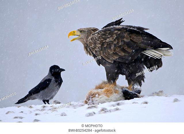white-tailed sea eagle Haliaeetus albicilla, fighting with a hooded crow for a cadaver, Norway
