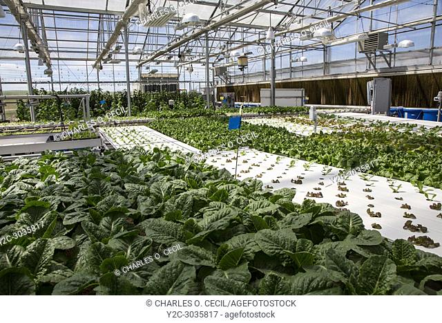 Hydroponic Agriculture. Greenhouse Growing Lettuce. Dyersville, Iowa, USA