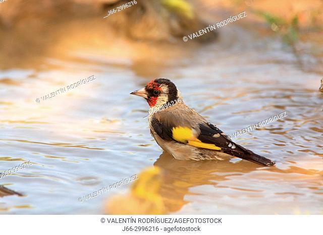 Goldfinch (Carduelis carduelis) take a bath in the Los Serranos region. Valencia