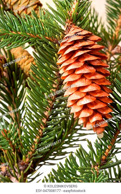 pine cone on the branch fir close-up
