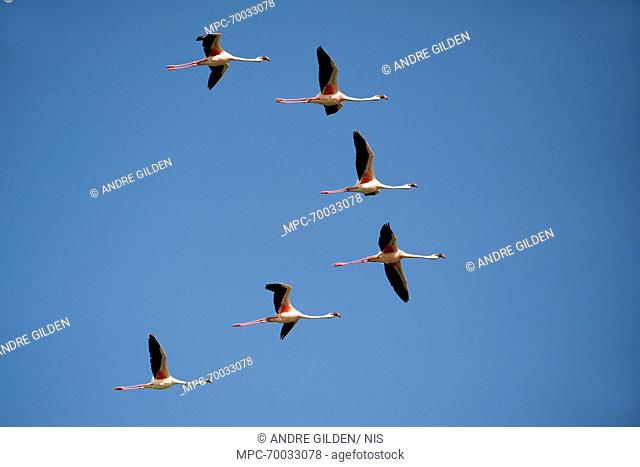 Lesser Flamingo (Phoenicopterus minor) flock flying, Lake Ndutu, Serengeti National Park, Tanzania