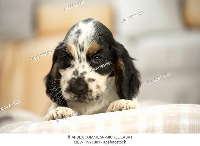 English Cocker Spaniel Dog, puppy