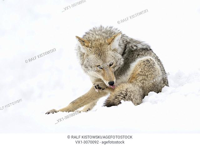 Coyote ( Canis latrans ) in winter, sitting in snow, licking its paw with tongue, watching attentively, Yellowstone NP, Wyoming, USA