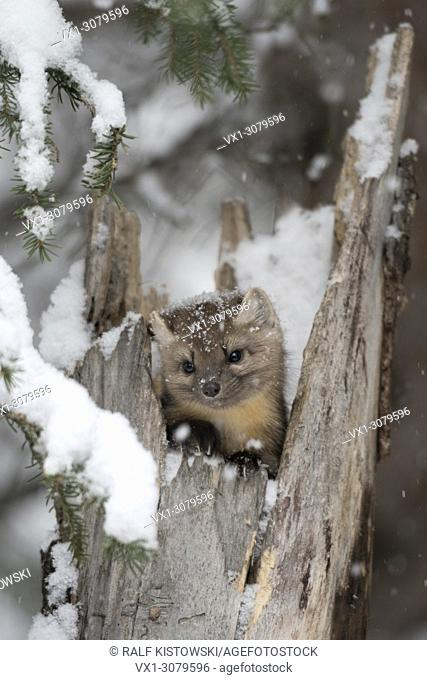 American Pine Marten ( Martes americana ) in winter, watching out of a hollow tree stump during snowfall, looks cute, Montana, USA