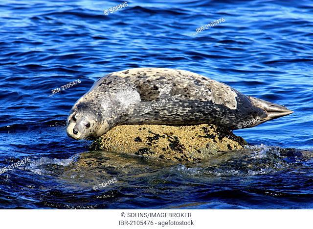 Common seal (Phoca vitulina), adult, on rocks, Monterey, California, USA