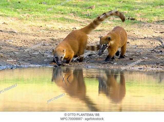 Coatimundi (Nasua nasua) pair drinking, Pantanal, Brazil