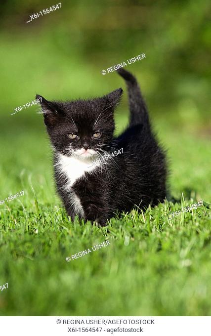 Kitten, walking in garden lawn, Lower Saxony, Germany