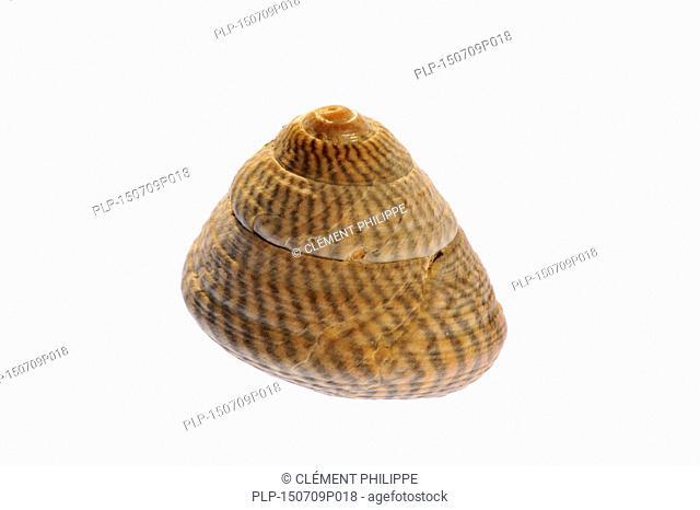 Grey top shell (Gibbula cineraria) sea snail on white background