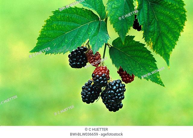 shrubby blackberry Rubus fruticosus agg., fruits, Germany