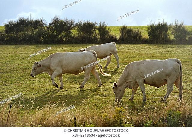 calf and heifer in pasture, plateau of Combrailles, Puy-de-Dome department, Auvergne-Rhone-Alpes region, France, Europe