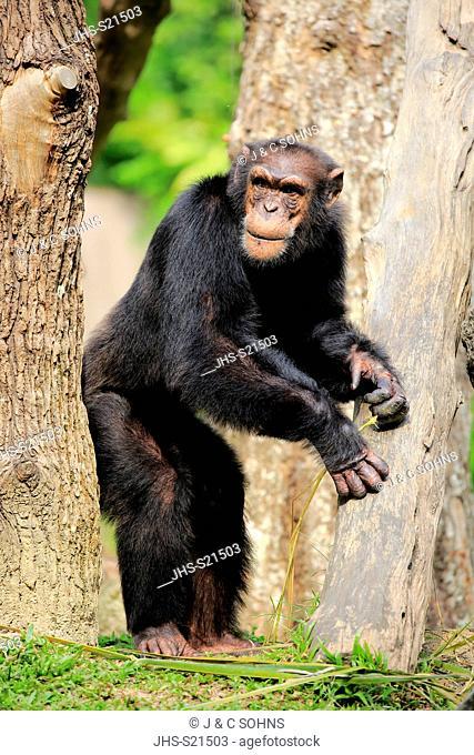 Chimpanzee, (Pan troglodytes troglodytes), adult male walking, Africa