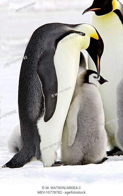 Emperor Penguin - adults and chick (Aptenodytes forsteri)
