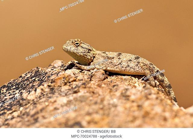 Etosha Agama (Agama etoshae) camouflaged on a rock, Richtersveld Transfrontier Park, South Africa