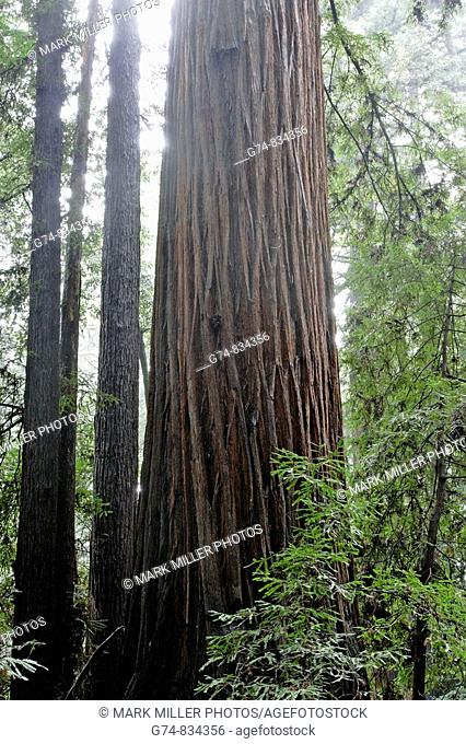 California Redwoods, misty day in forest along coast of California, USA