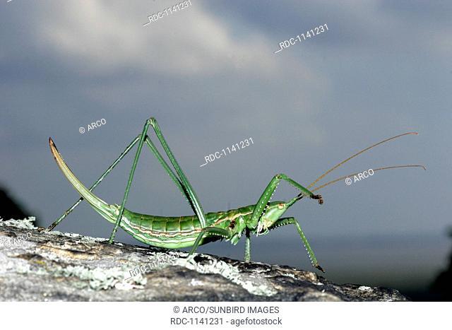 predatory bush cricket