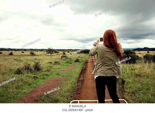 Woman taking photograph of zebras from top of vehicle in wildlife park, Nairobi, Kenya