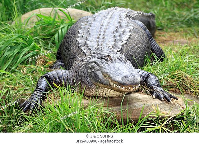American Alligator,Alligator mississipiensis,USA,America,kindly looking