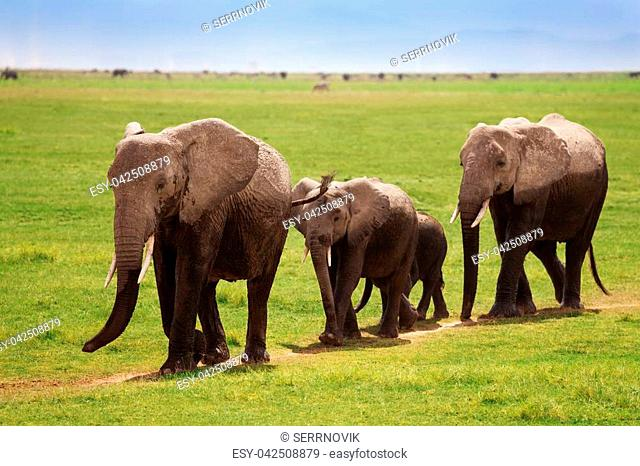 Family of African elephants covered by mud walking towards the swamps, Kenya