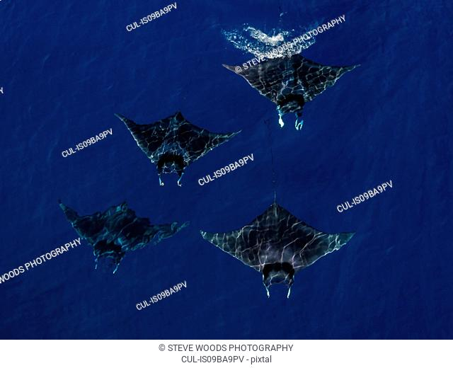 Mobula Rays seen from the air swimming, Nopapu, Vava, Tonga