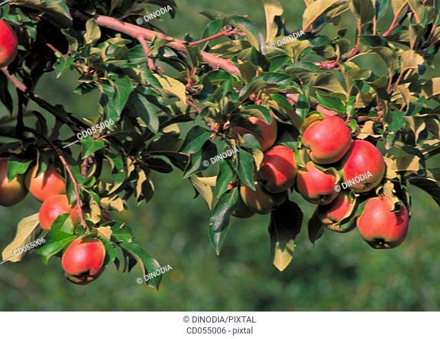 Apples on tree. Leh. Ladakh. India
