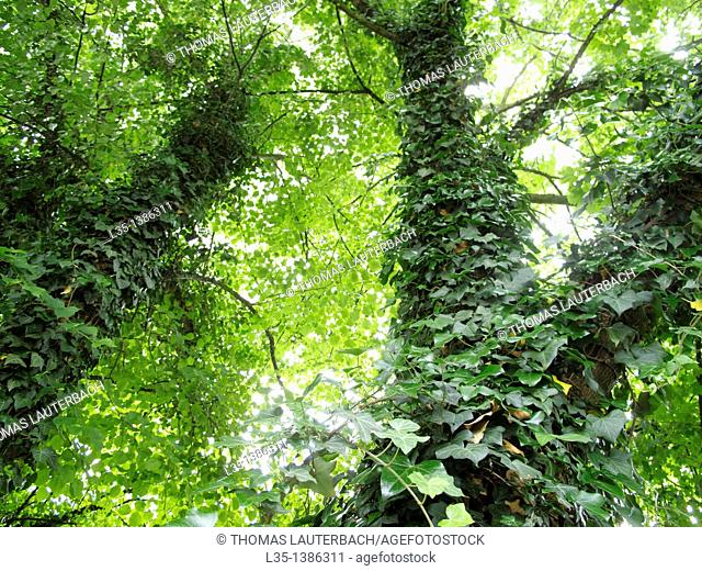 Two trees are covered with a lot of ivy