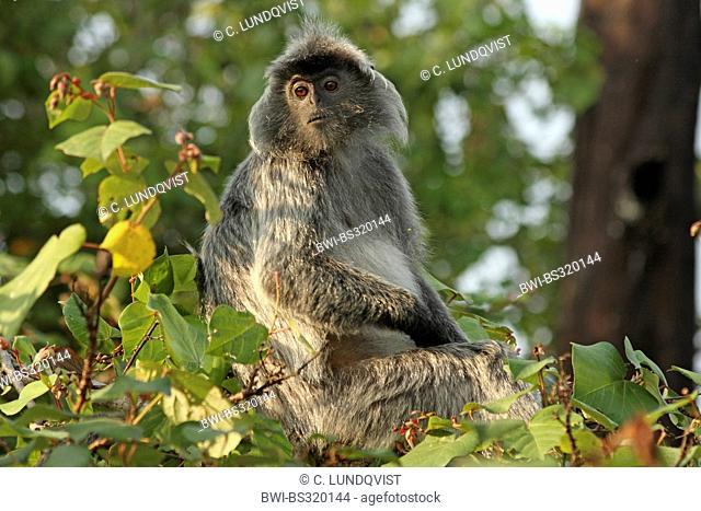 Silvered leaf monkey (Presbytis cristata, Trachypithecus cristatus), sitting on a tree, Malaysia, Sarawak, Bako National Park