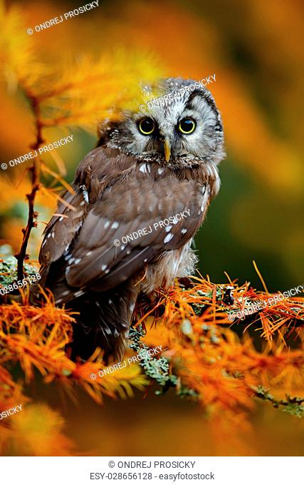 Boreal owl in the orange larch autumn forest in central Europe